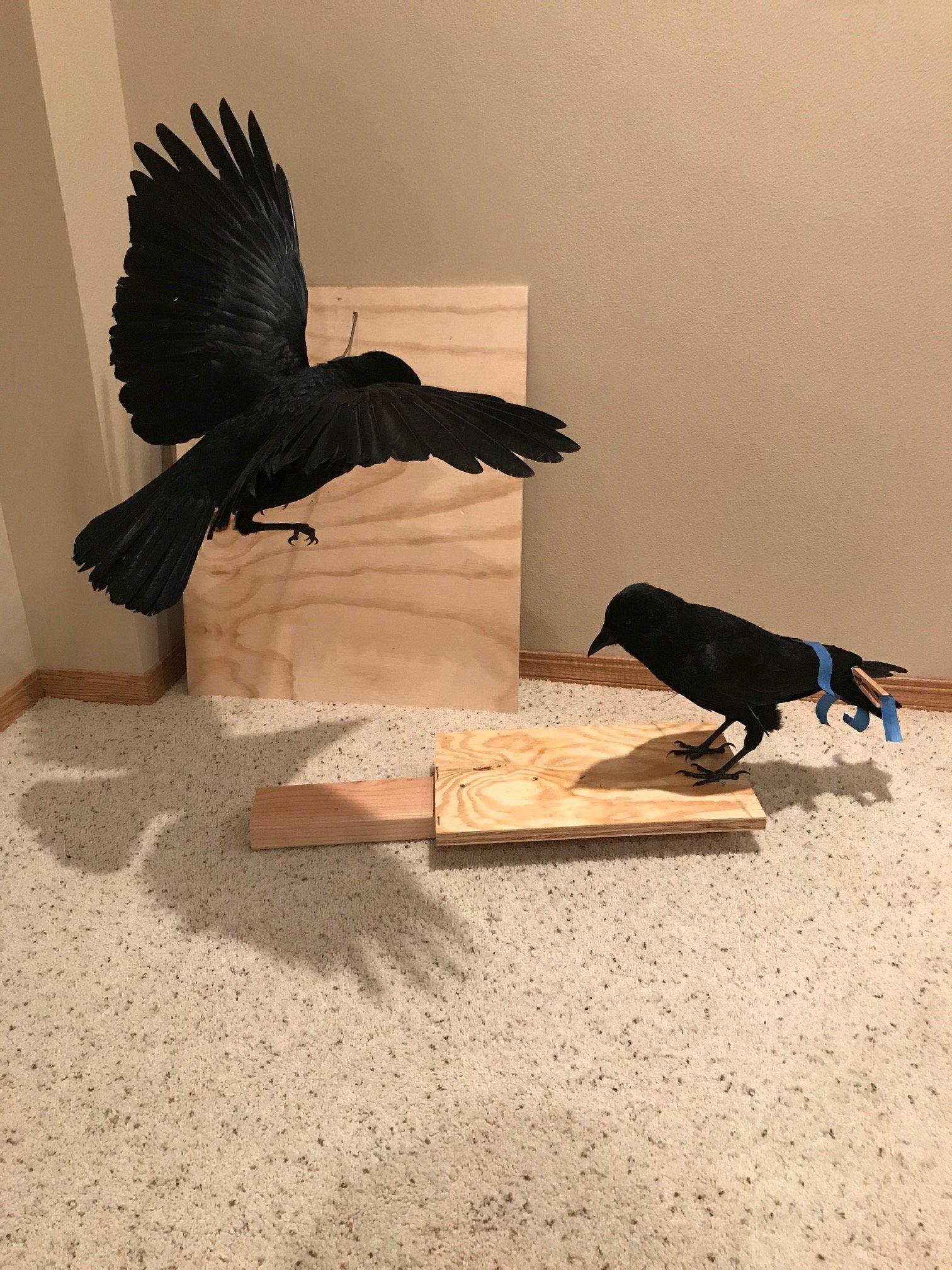 crows 11-18-2020.jpeg
