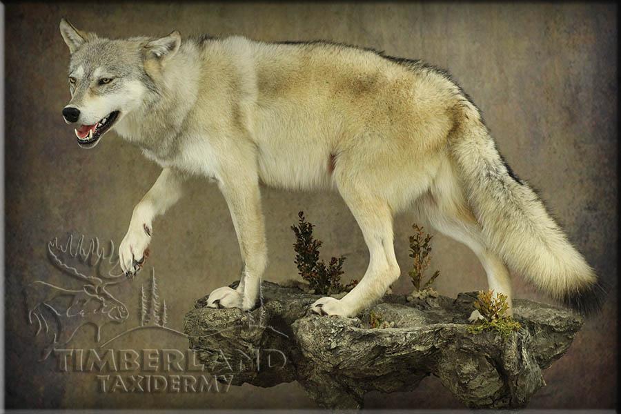 wolf_trav1.jpg