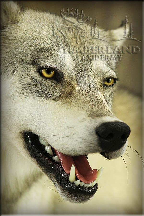wolf_trav2.jpg