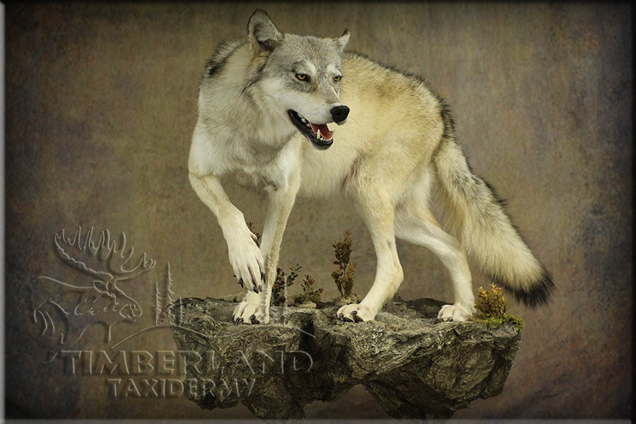 wolf_trav3.jpg