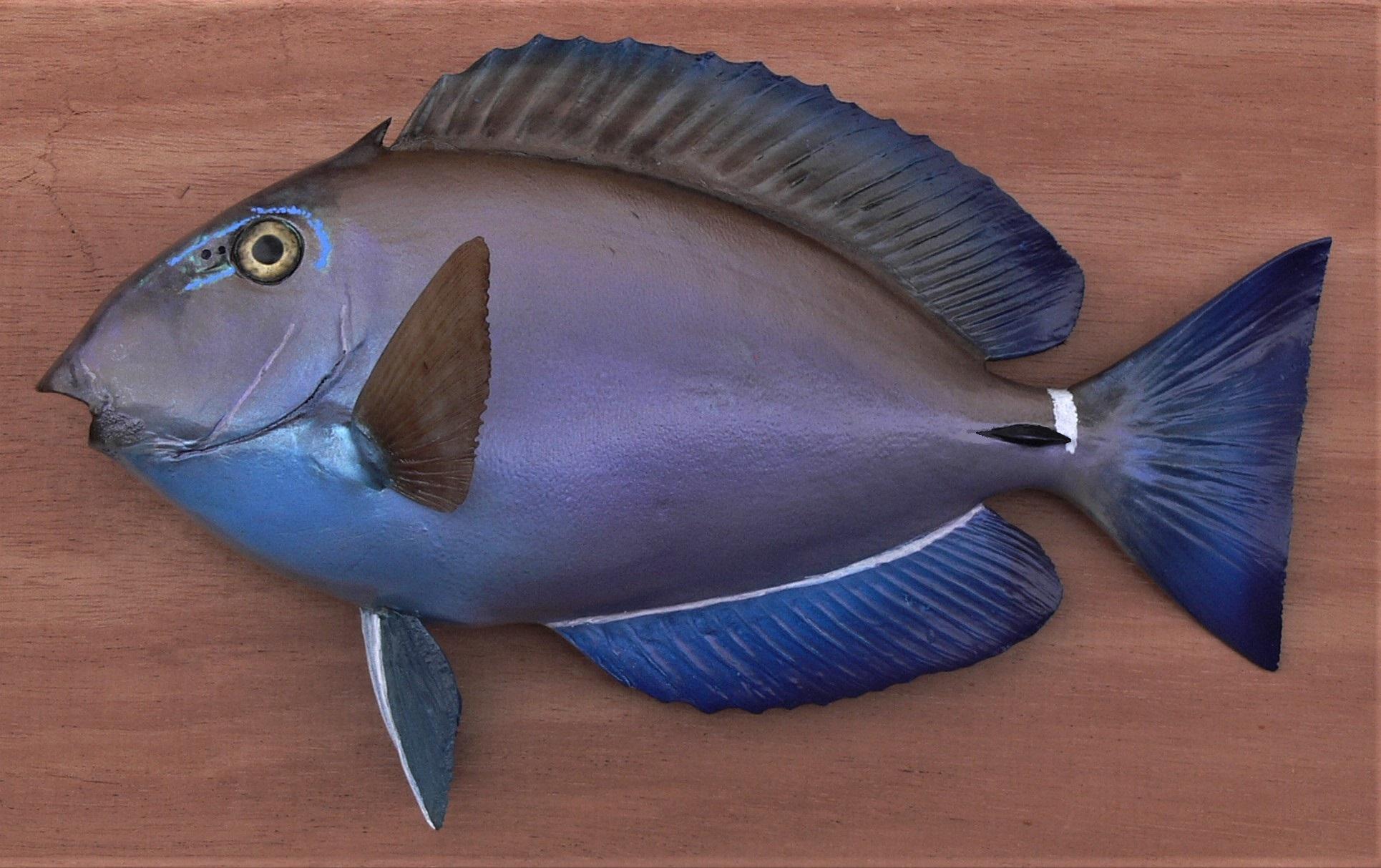 Surgeonfish 1.jpg