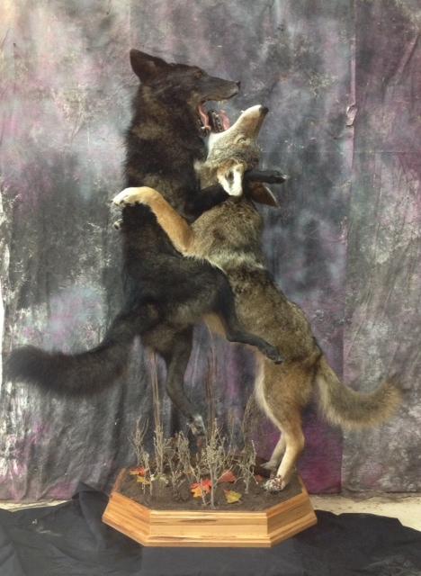 Taxidermy Coyote Fight 1.JPG