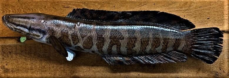 Snakehead mount (2).jpg