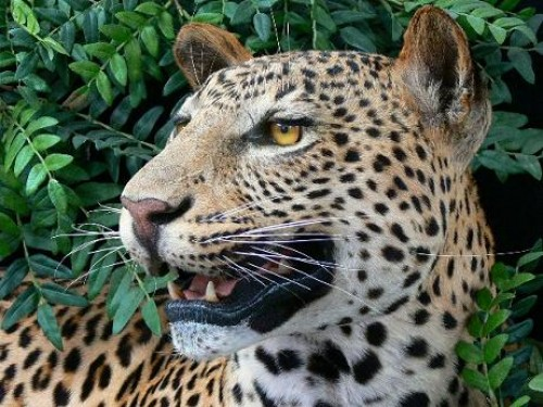 17894-Leopard-1 (1).jpg