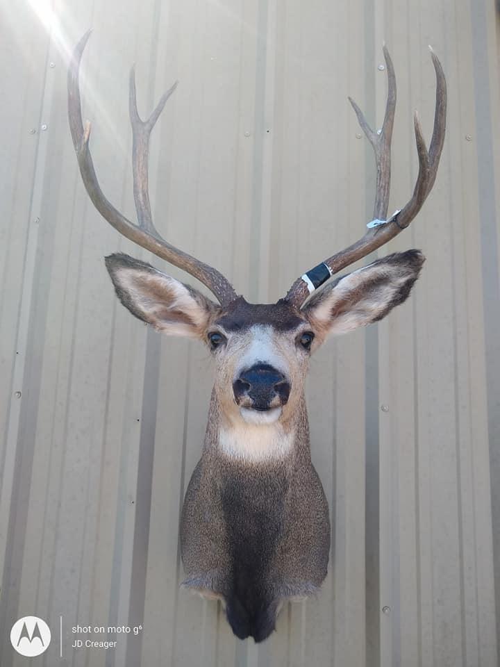 mule deer ft.jpg
