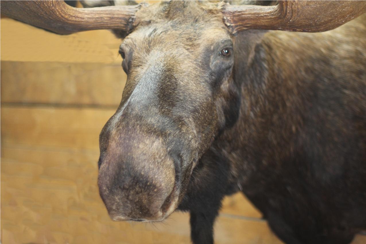 Scribner bull 6.JPG