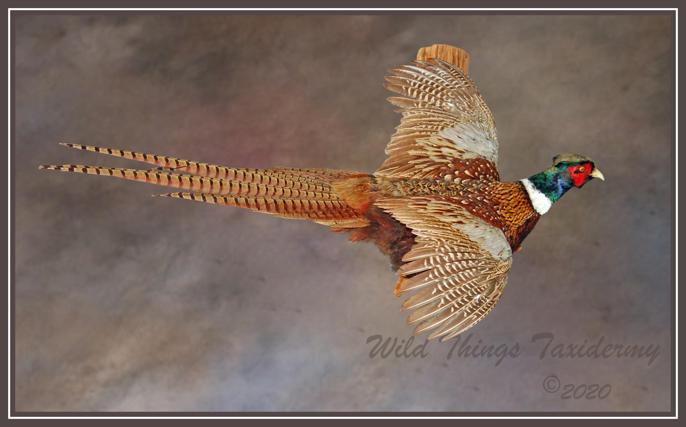2020 Reed Pheasant final.jpg