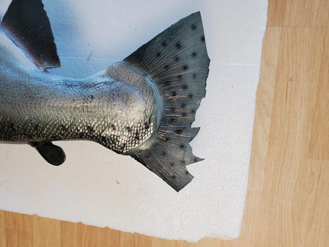 King Salmon tail.jpg