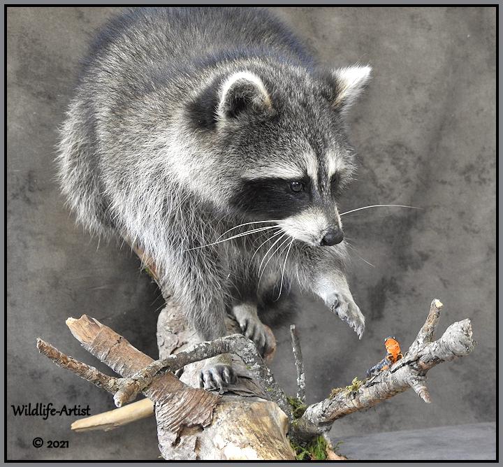 raccoon358.jpg