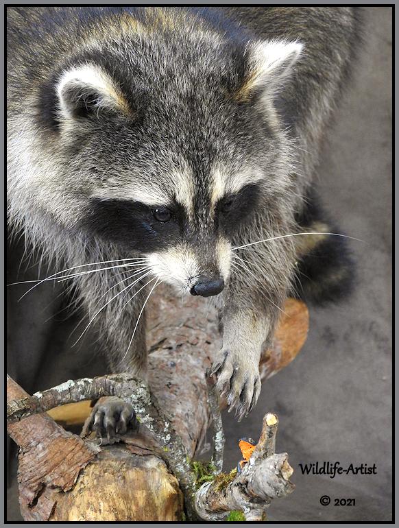 raccoon356.jpg