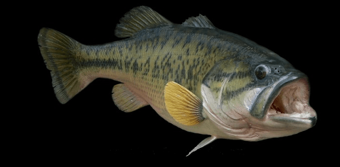 lg mouth bass.png
