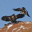 roughlegged_hawk