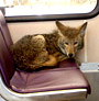 Light Rail Coyote