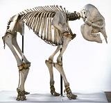 ElephasMaximus