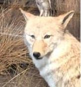 thylacinelover
