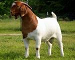 goatbutcher85