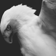 palehawk
