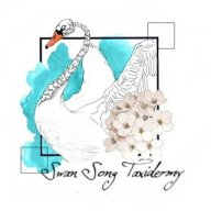 Swan_song_taxidermy
