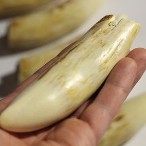 Killer Whale Teeth For Sale