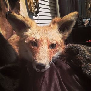 Softmount red fox