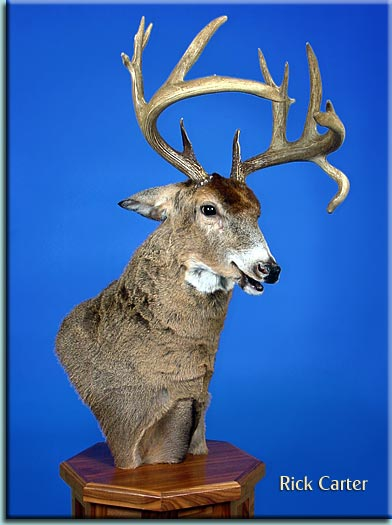 Any Good Agressive Whitetail Mounts Out There Let S See Em