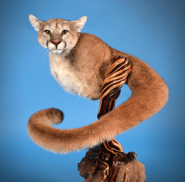 Ted Wenner's Mountain Lion
