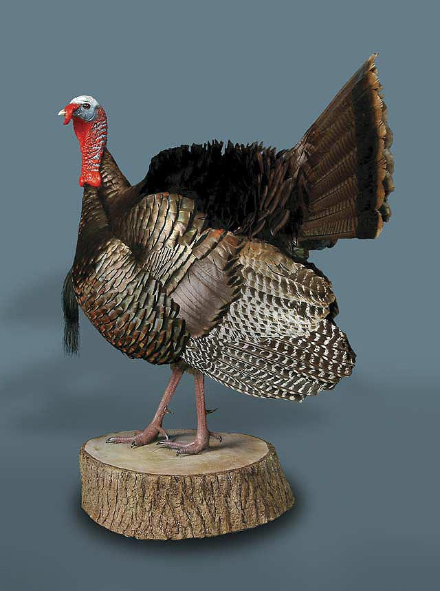 Wild Turkey Taxidermy Displays 187 Ken S Corner