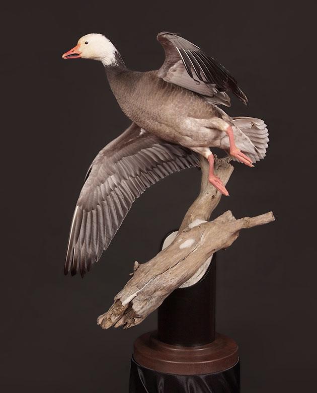Brice Wangler's Blue Goose Piranha