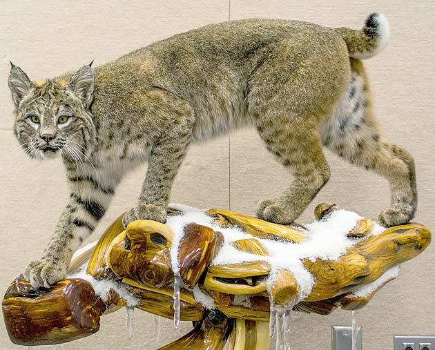 Josh Gustad's Bobcat
