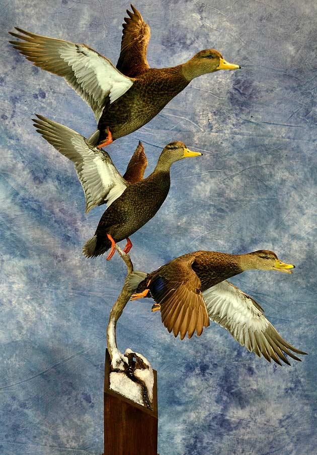 Mike Nakielski's Black Ducks