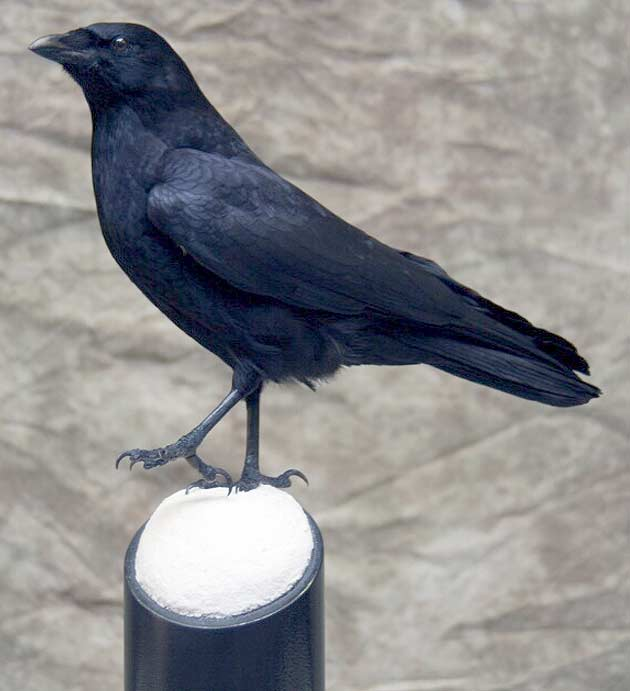 Mike Nakielski's Crow