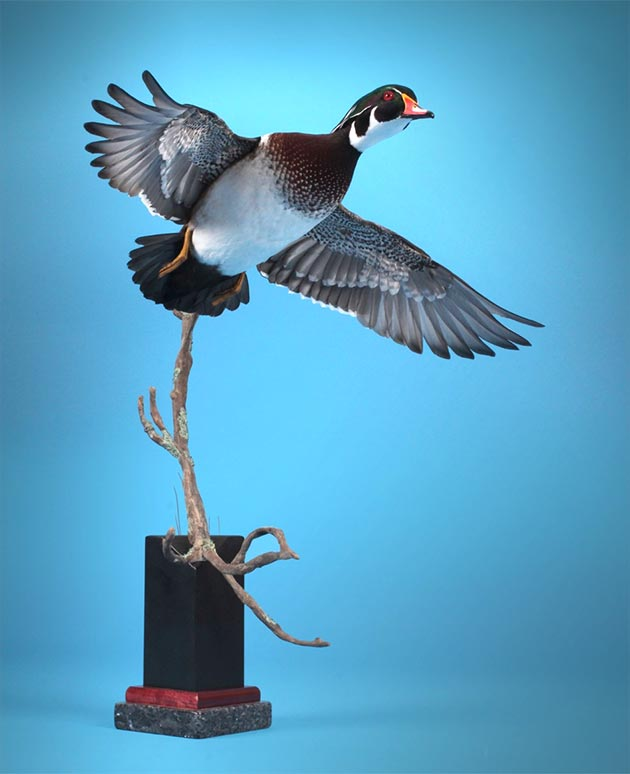 Mike Nakielski's Wood Duck