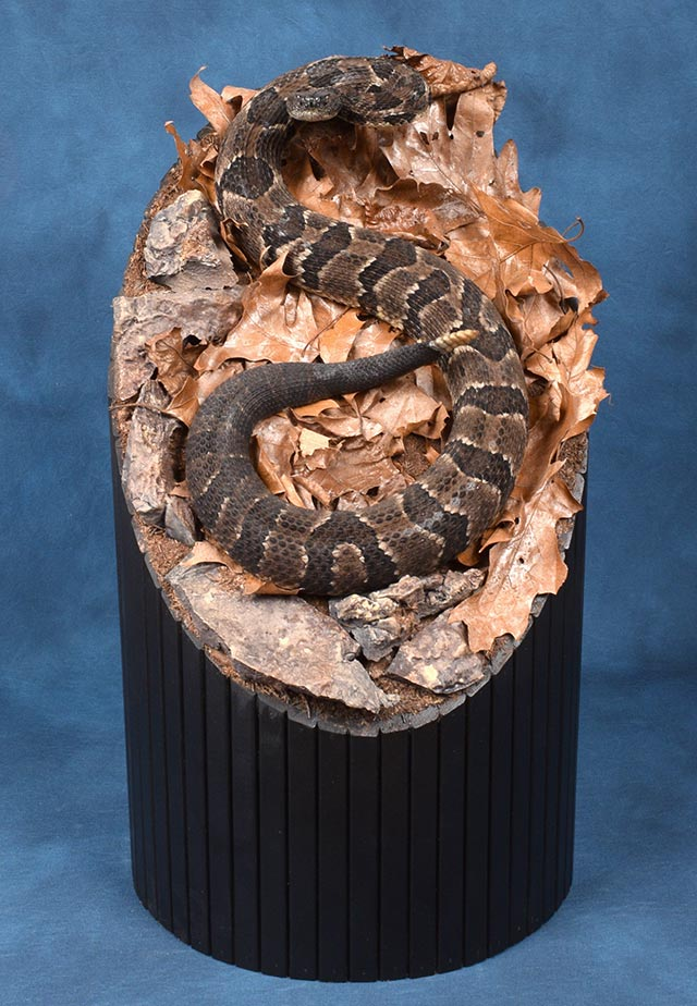Jason Krause's Timber Rattlesnake