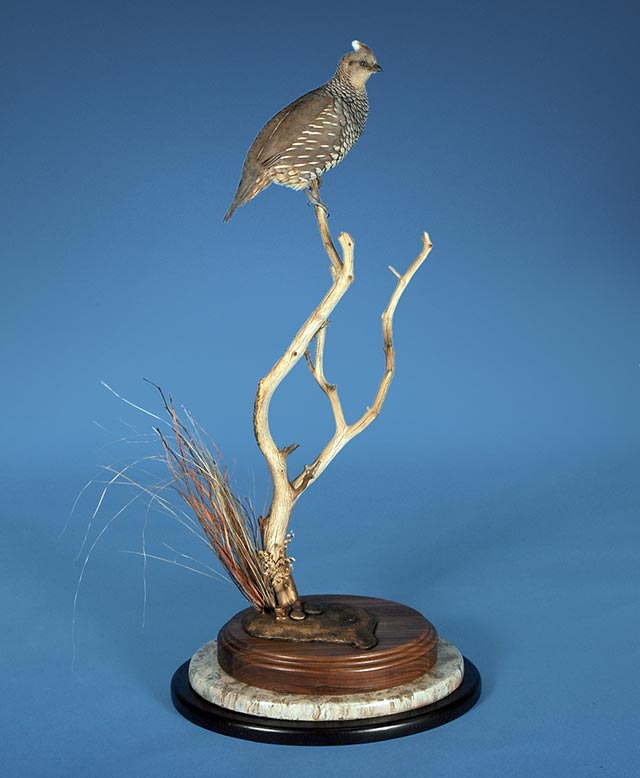 Sam Cahoy's Scaled Quail