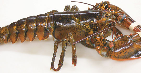 Index of /reference/misc/lobster/art